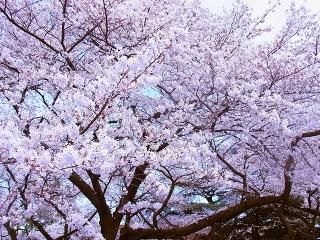 お花見会を開催いたしました! -東京新宿の陶芸教室 プロップスアートスクールで陶芸体験-の画像